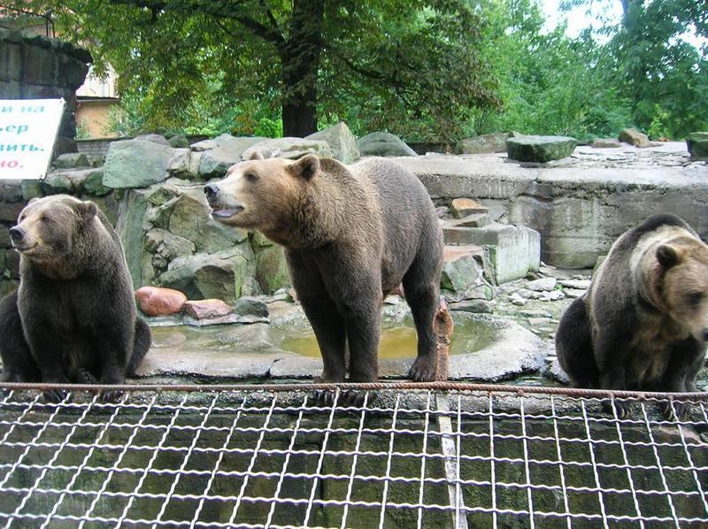 Медведы кенигсбергские